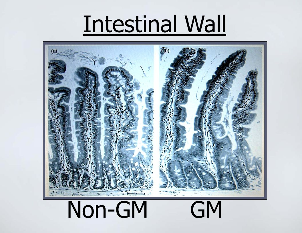 Intestinal Wall Non-GM GM