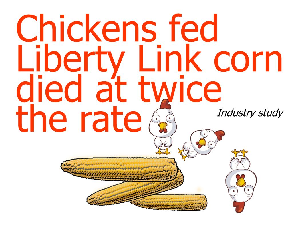 Chickens fed Liberty Link corn died at twice the rate