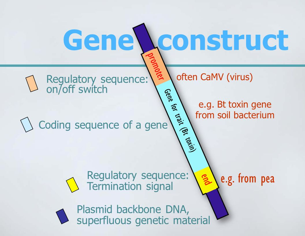e.g. Bt toxin gene from soil bacterium