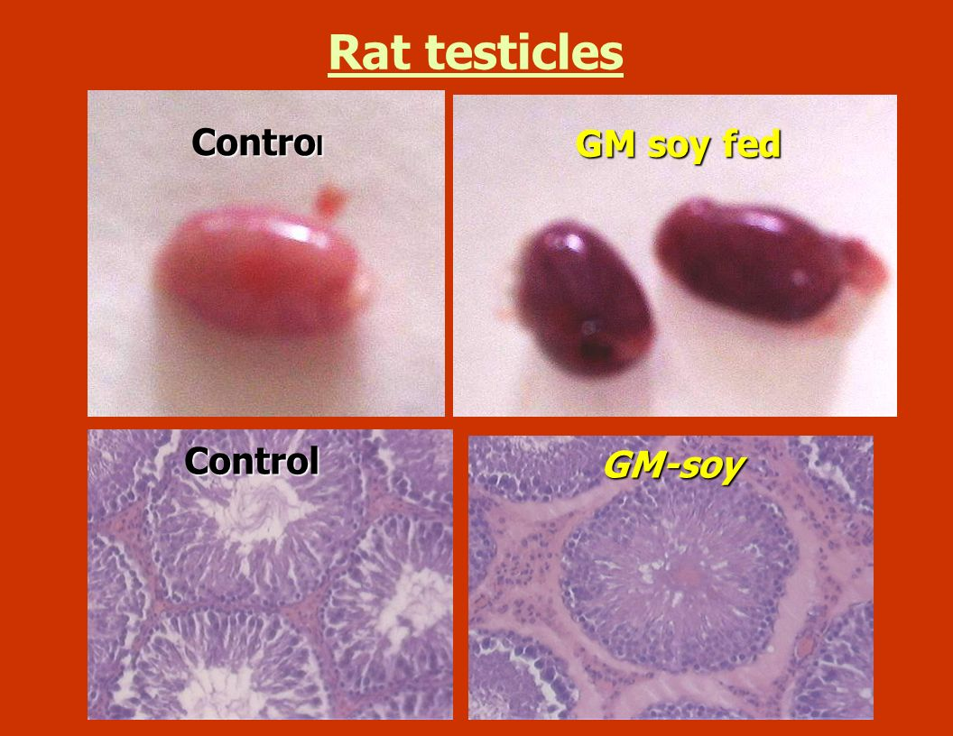 Rat testicles Control GM soy fed Control GM-soy
