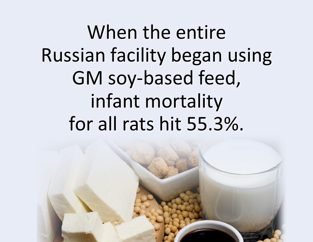 When the entire Russian facility began using GM soy-based feed, infant mortality for all rats hit 55.3%.