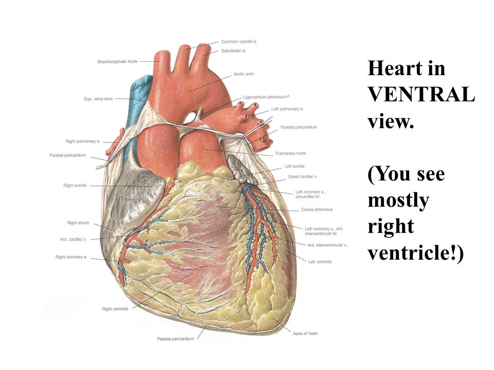 Heart: Structure, Function, Development - ppt video online download