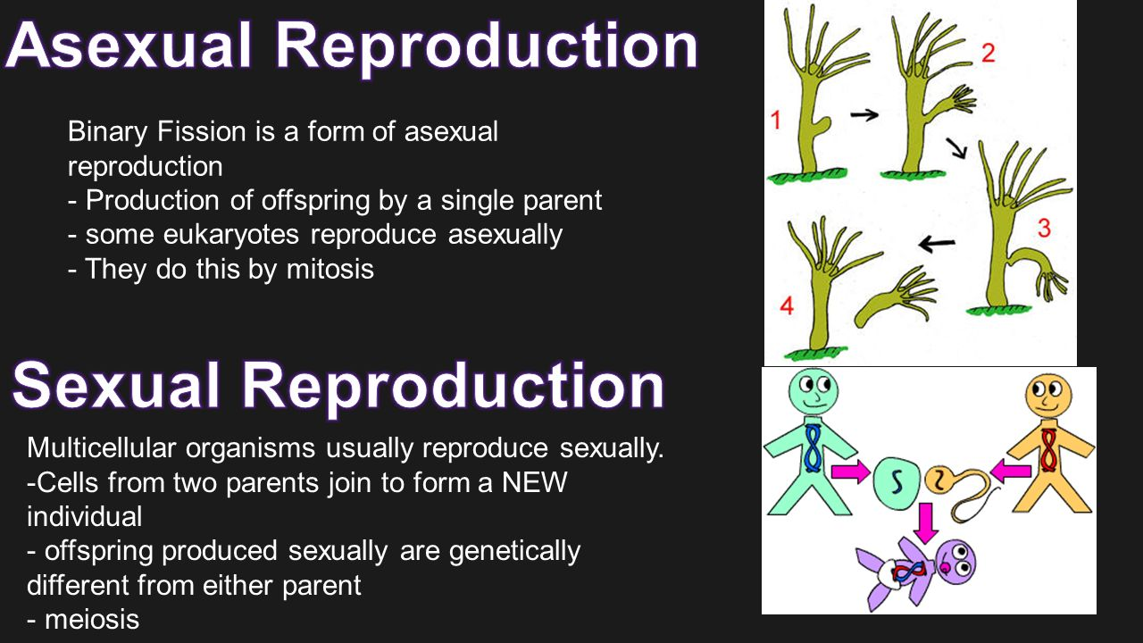 Is binary fission an example of asexual reproduction in eukaryotes
