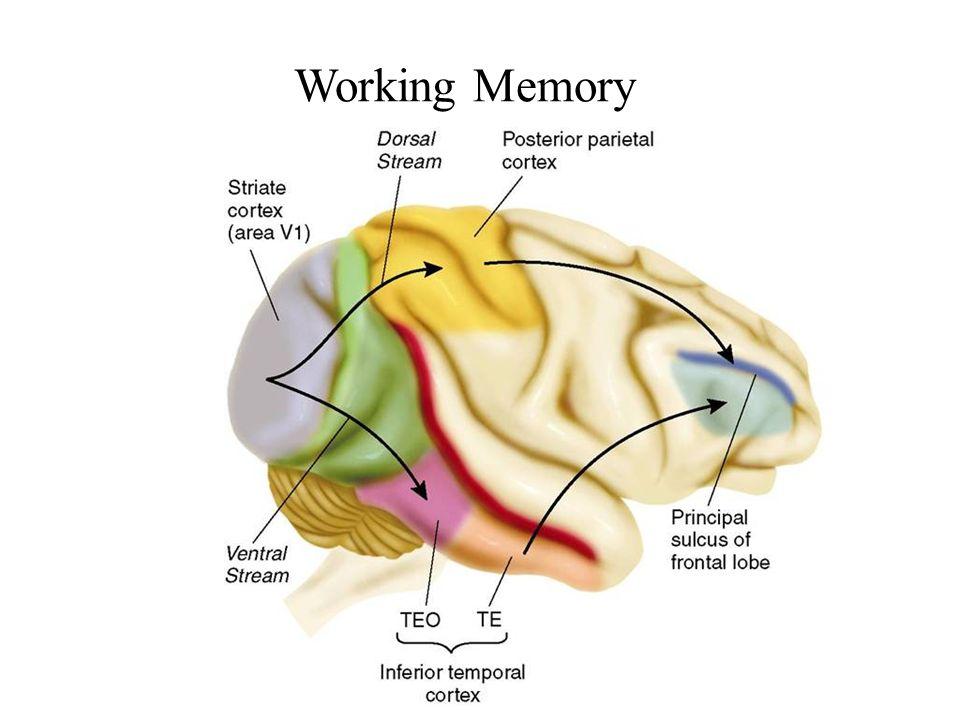 Memory Working Memory Long Term Memory Implicit Memory Ppt Video