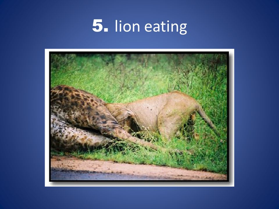 5. lion eating