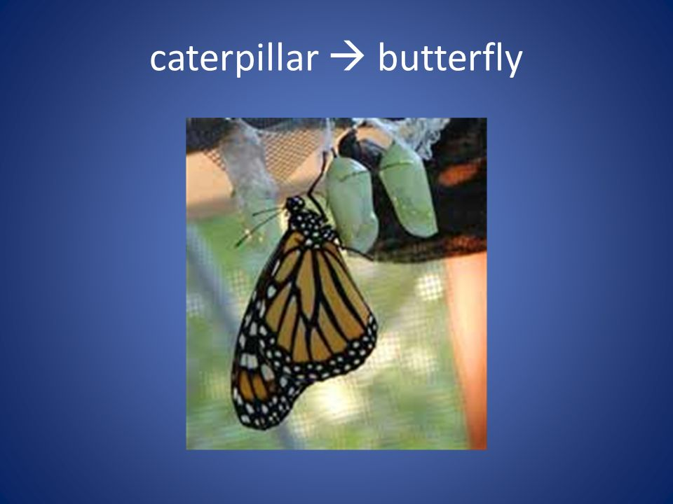 caterpillar  butterfly