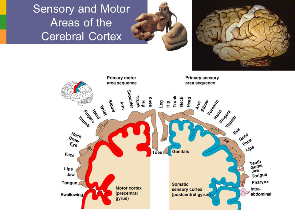 Sensory and Motor Areas of the Cerebral Cortex