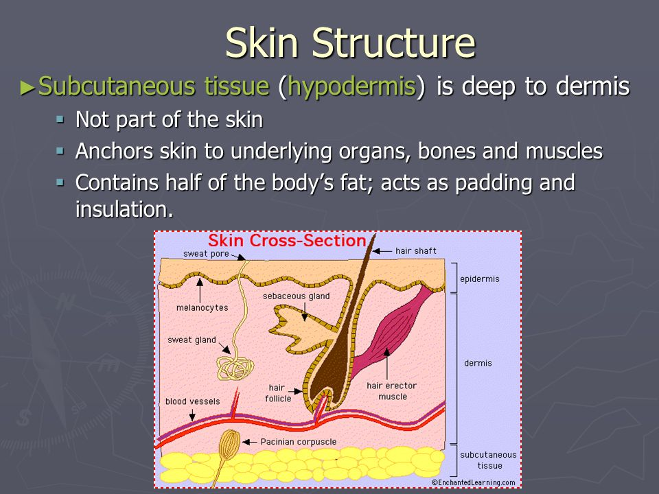Skin Structure Subcutaneous tissue (hypodermis) is deep to dermis