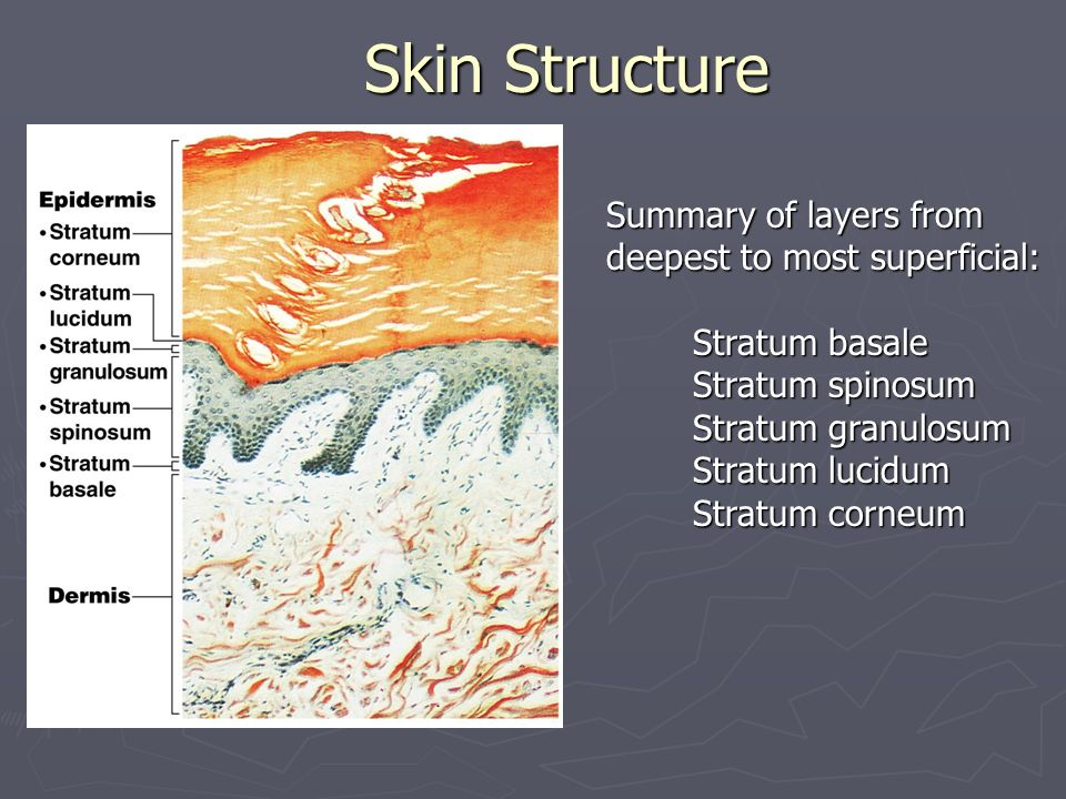 Skin Structure Summary of layers from deepest to most superficial: