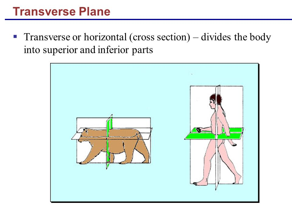 Transverse Plane Transverse or horizontal (cross section) – divides the body into superior and inferior parts.