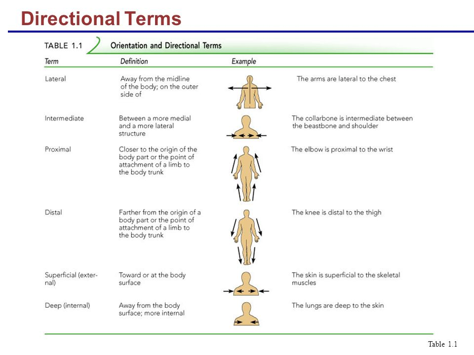 Directional Terms Table 1.1