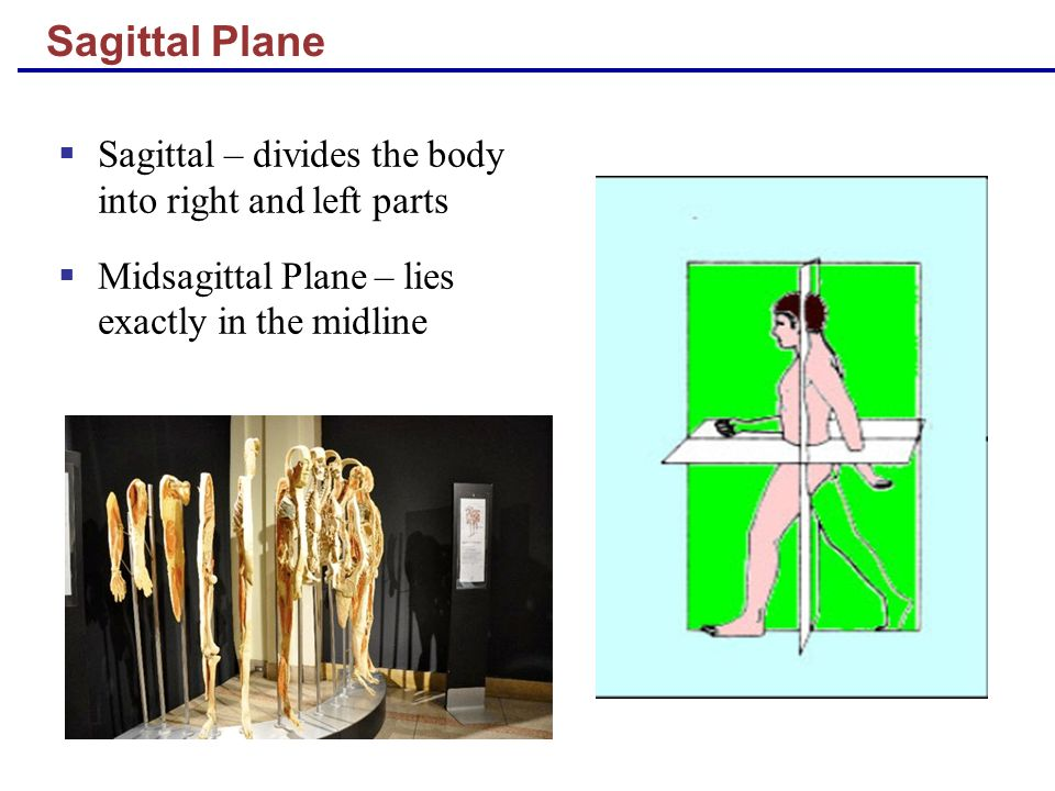 Sagittal Plane Sagittal – divides the body into right and left parts