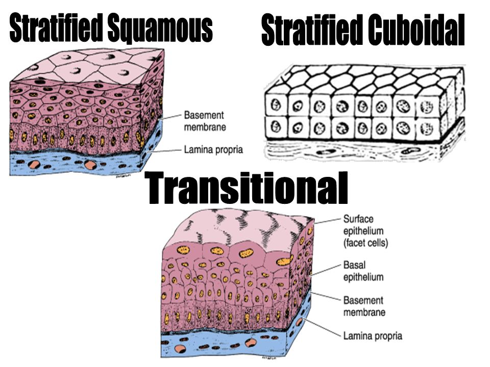 Stratified Squamous Stratified Cuboidal Transitional