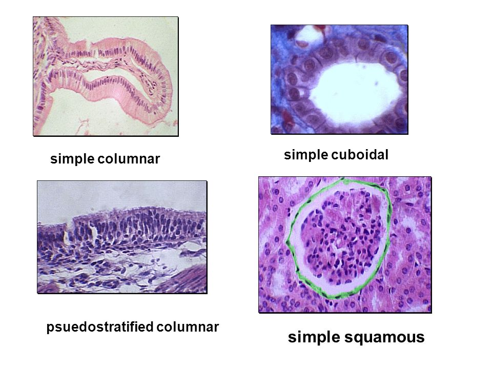 simple squamous simple cuboidal simple columnar