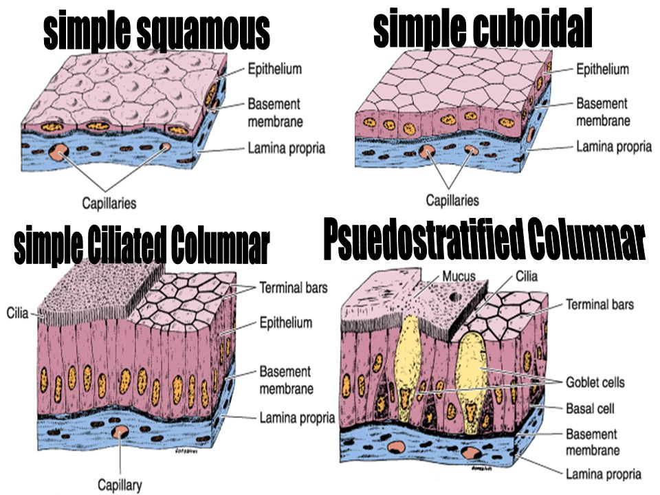 Psuedostratified Columnar simple Ciliated Columnar