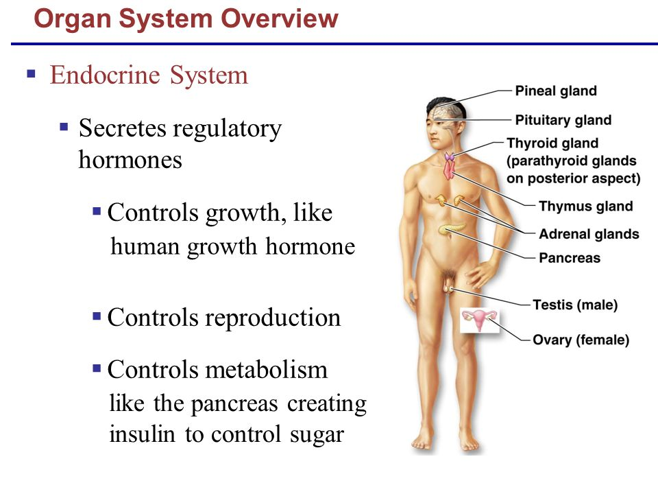 Endocrine System Organ System Overview Secretes regulatory hormones