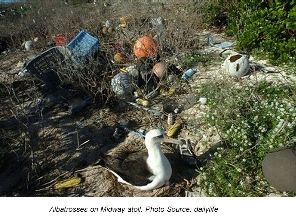 Albatrosses on Midway atoll. Photo Source: dailylife