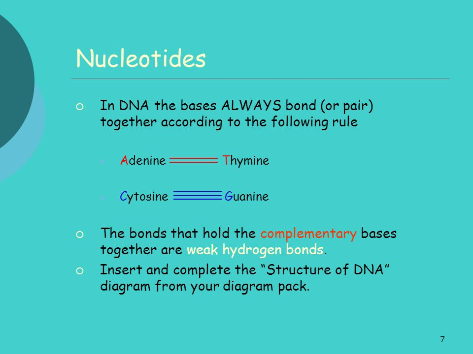 Nucleotides In DNA the bases ALWAYS bond (or pair) together according to the following rule. Adenine Thymine.