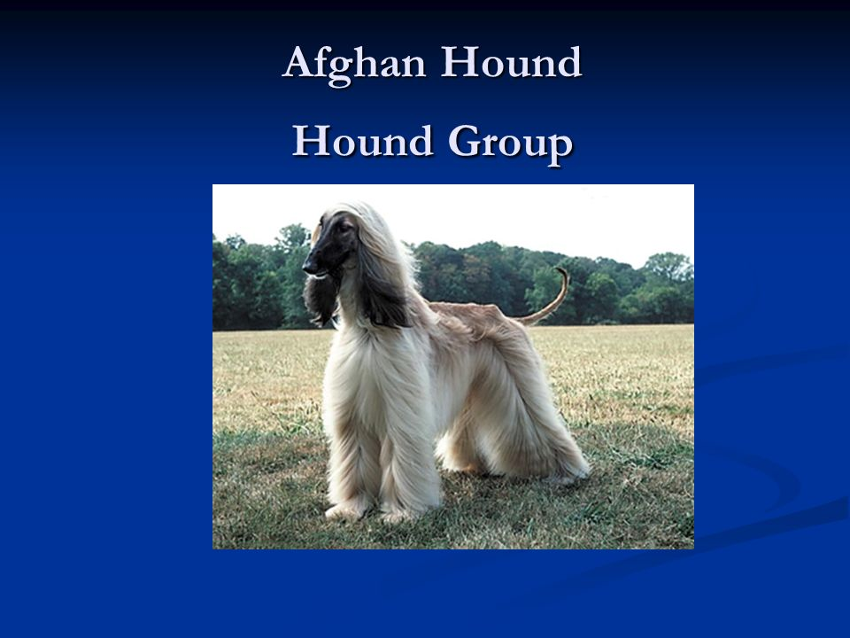 Afghan Hound Hound Group