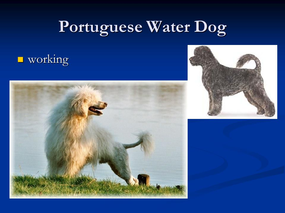 Portuguese Water Dog working
