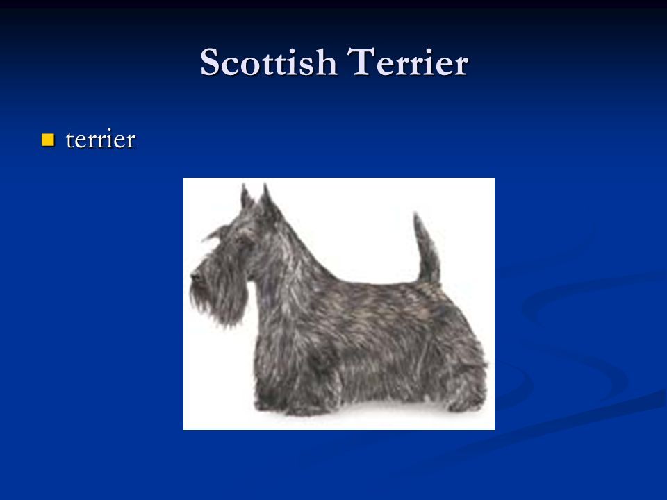 Scottish Terrier terrier