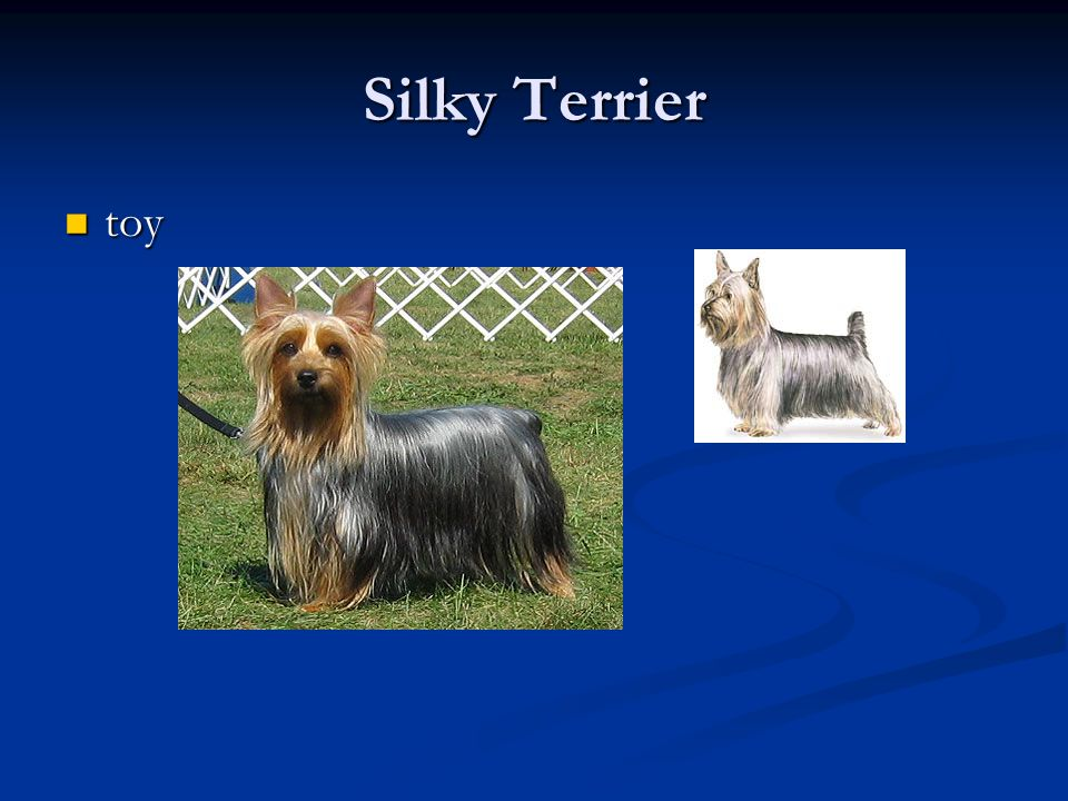 Silky Terrier toy