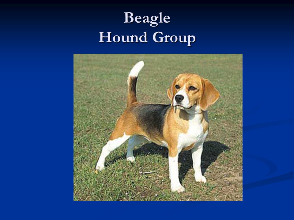 Beagle Hound Group