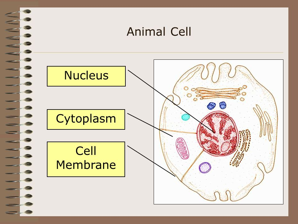 Animal Cell Nucleus Cytoplasm Cell Membrane