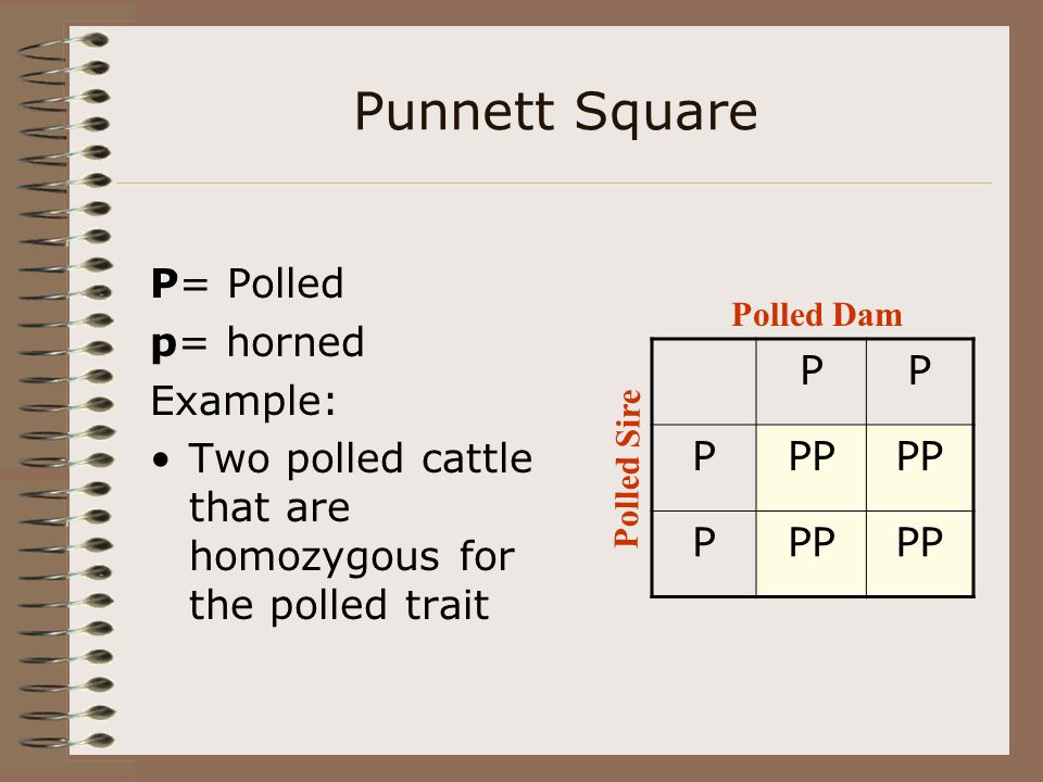 Punnett Square P PP P= Polled p= horned Example: