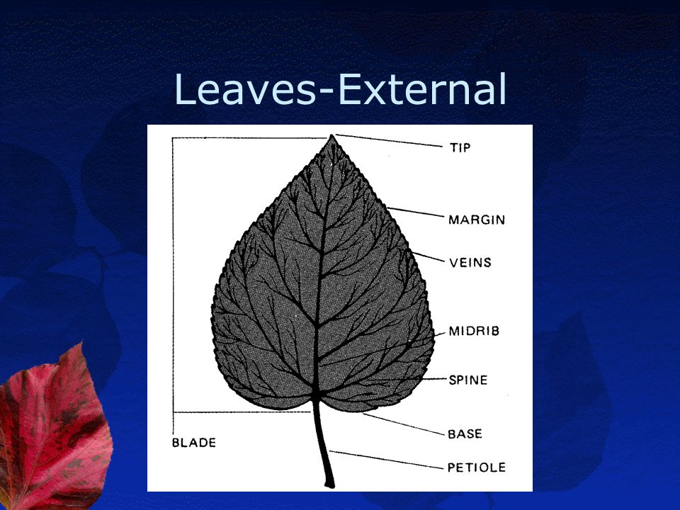 Leaves-External