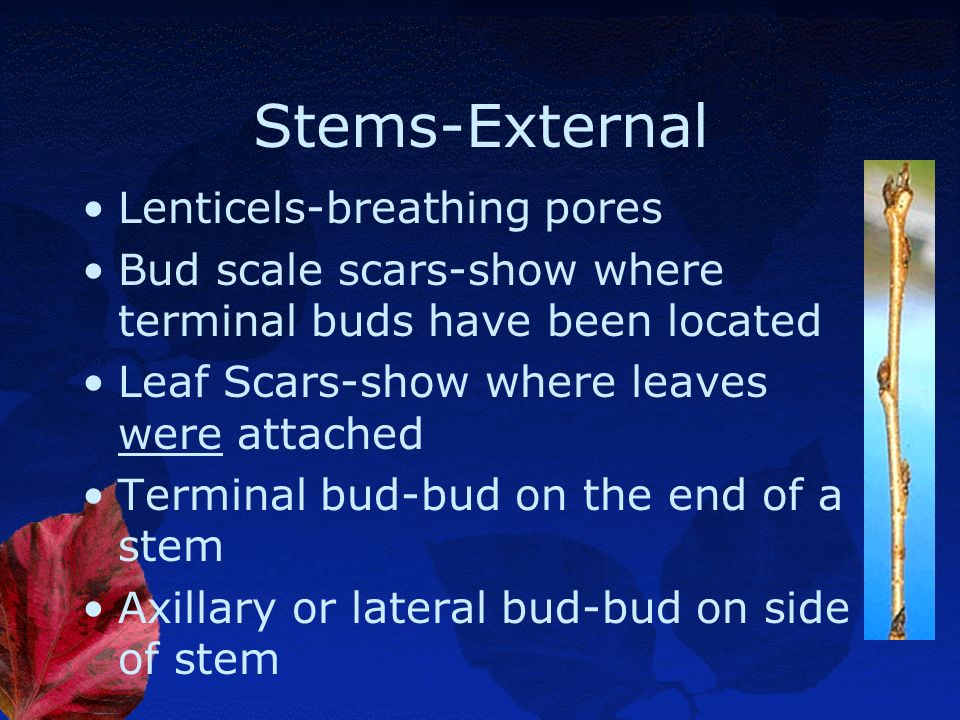 Stems-External Lenticels-breathing pores