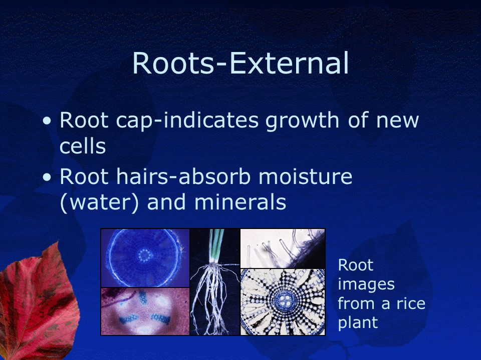 Roots-External Root cap-indicates growth of new cells