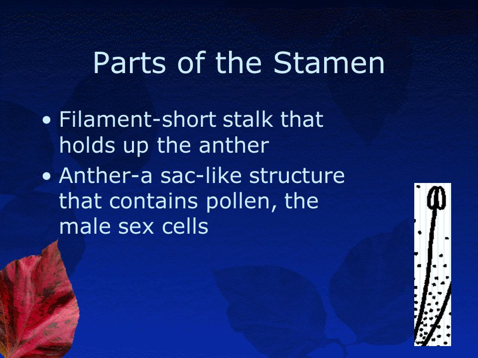 Parts of the Stamen Filament-short stalk that holds up the anther