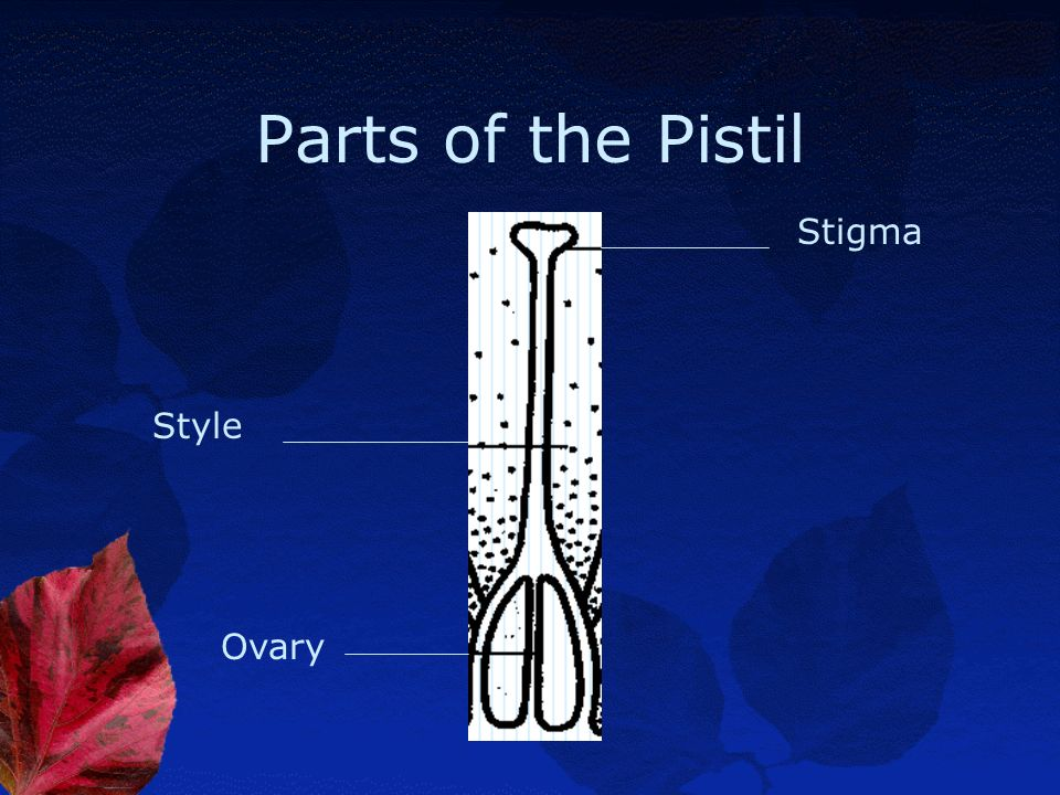 Parts of the Pistil Stigma Style Ovary
