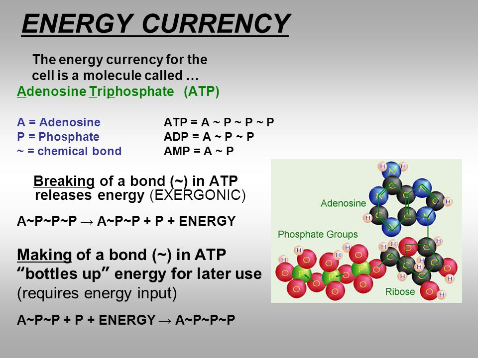 ENERGY CURRENCY Making of a bond (~) in ATP