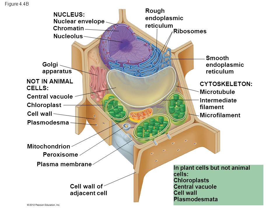 Tour of the eukaryotic cell ppt download 6 rough endoplasmic ccuart Image collections