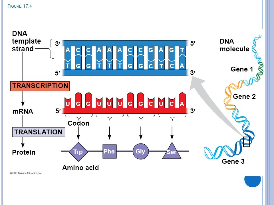 Template Strand Definition   Chapter 17 From Gene To Protein Ppt Download