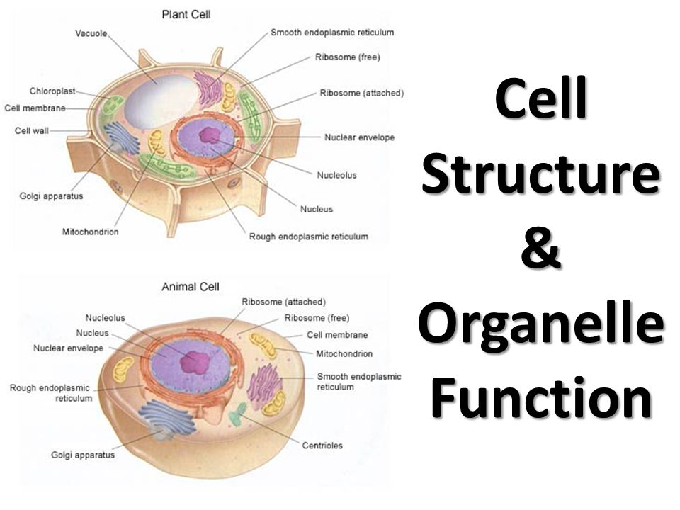 Cell structures and organelles diagram search for wiring diagrams cell structure organelle function ppt download rh slideplayer com animal cell organelle diagrams cell membrane organelle ccuart Choice Image