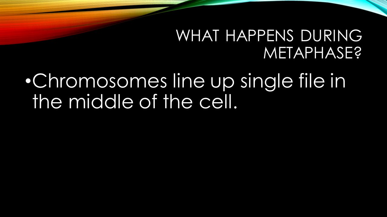What happens during metaphase