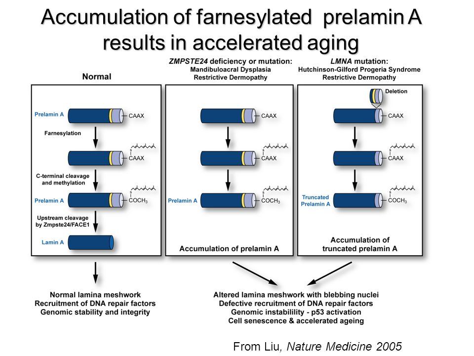 Accumulation of farnesylated prelamin A results in accelerated aging