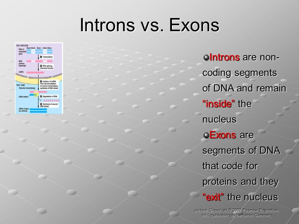 Introns vs. Exons Introns are non-coding segments of DNA and remain inside the nucleus.