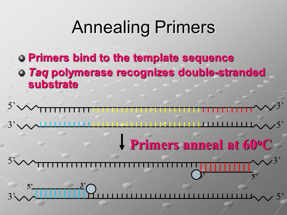 Annealing Primers Primers anneal at 60oC