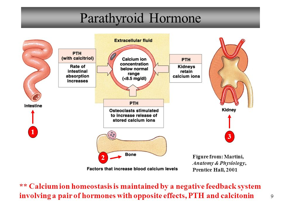 Anatomy and Physiology Part 3: Thyroid Gland and Calcium Homeostasis ...