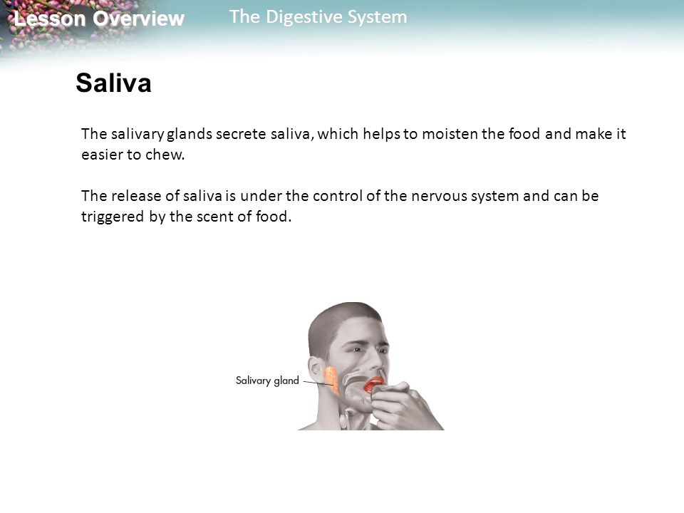 Saliva The salivary glands secrete saliva, which helps to moisten the food and make it easier to chew.