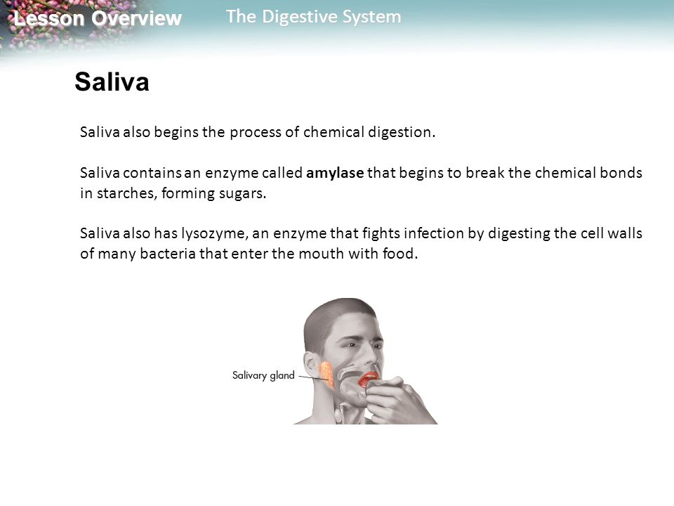 Saliva Saliva also begins the process of chemical digestion.