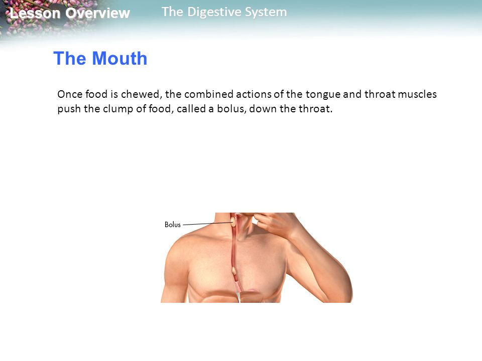 The Mouth Once food is chewed, the combined actions of the tongue and throat muscles push the clump of food, called a bolus, down the throat.