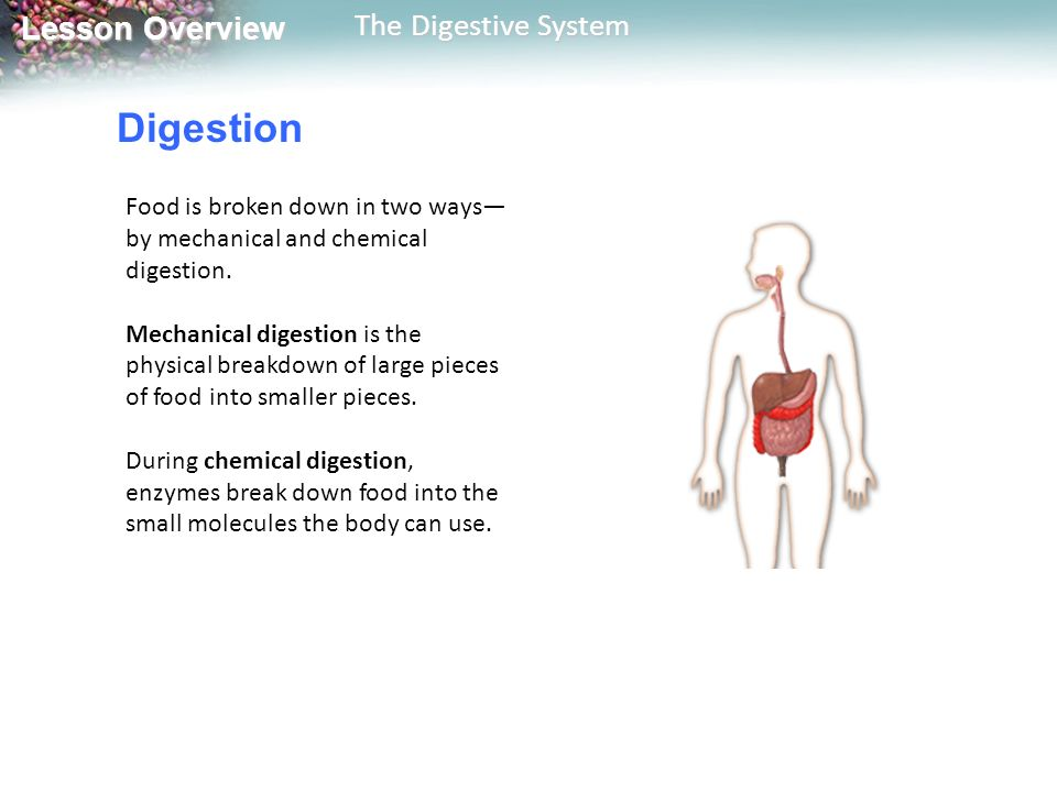 Digestion Food is broken down in two ways—by mechanical and chemical digestion.