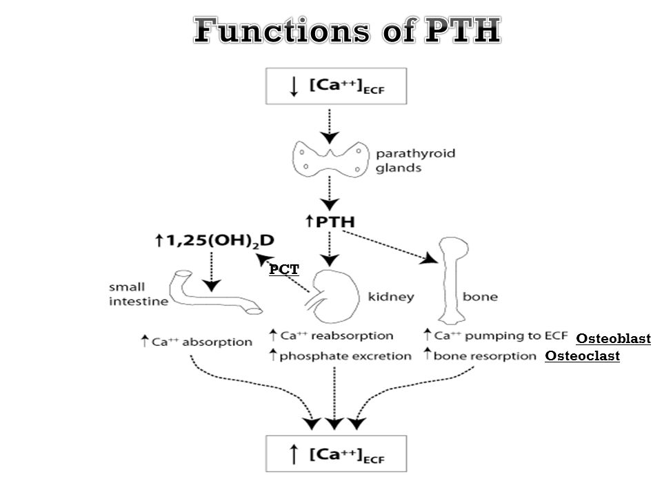 Functions of PTH PCT Osteoblast Osteoclast