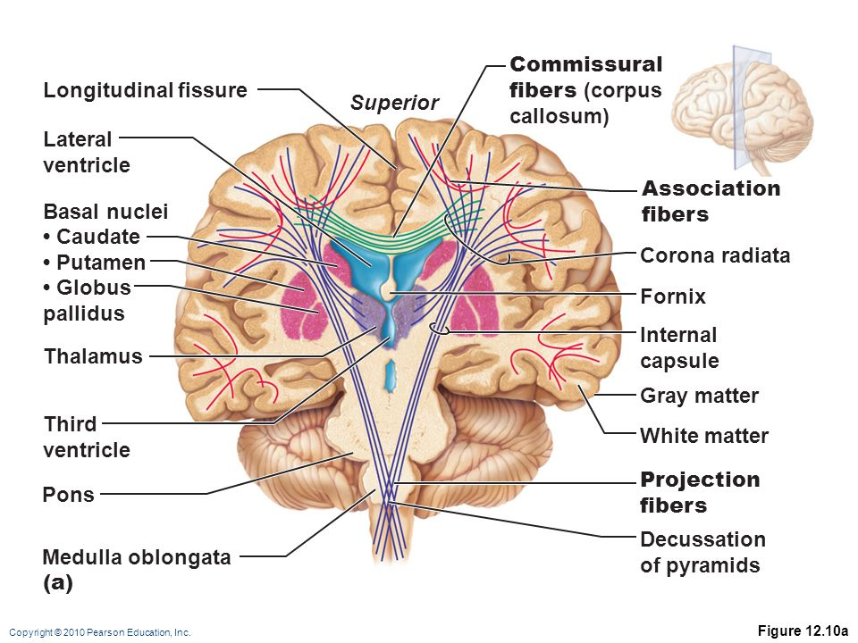 Modern Corona Radiata Anatomy Inspiration - Anatomy And Physiology ...