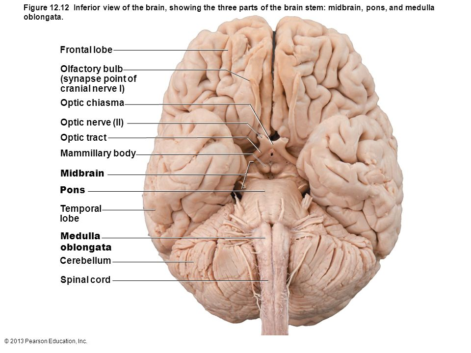 12 the central nervous system part b ppt video online download 23 frontal ccuart Image collections